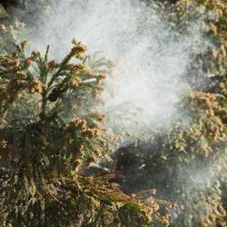 スギ 花粉 の ピーク